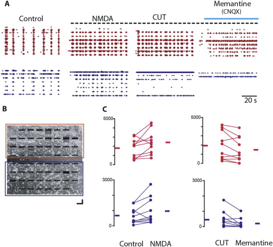 Extrasynaptic glutamate NMDA receptors Key players in striatal