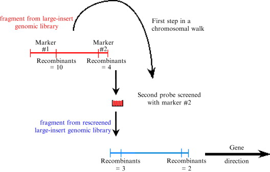 P1-derived artificial chromosome - an overview ScienceDirect Topics