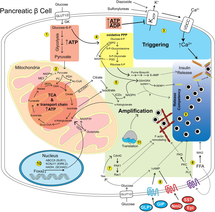 Mechanisms of the amplifying pathway of insulin secretion in the β