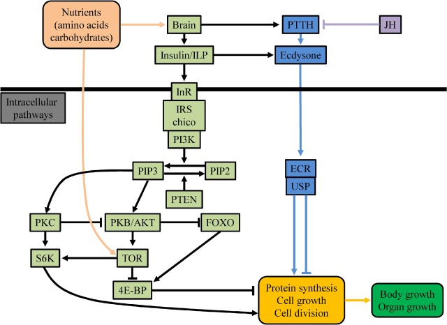 Roles of the insulin signaling pathway in insect development and