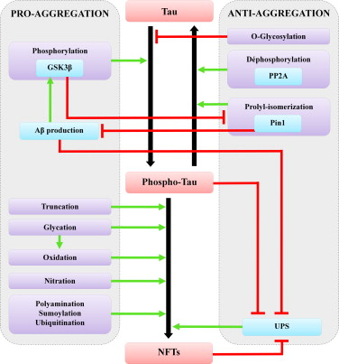 Post-translational modifications of tau protein Implications for