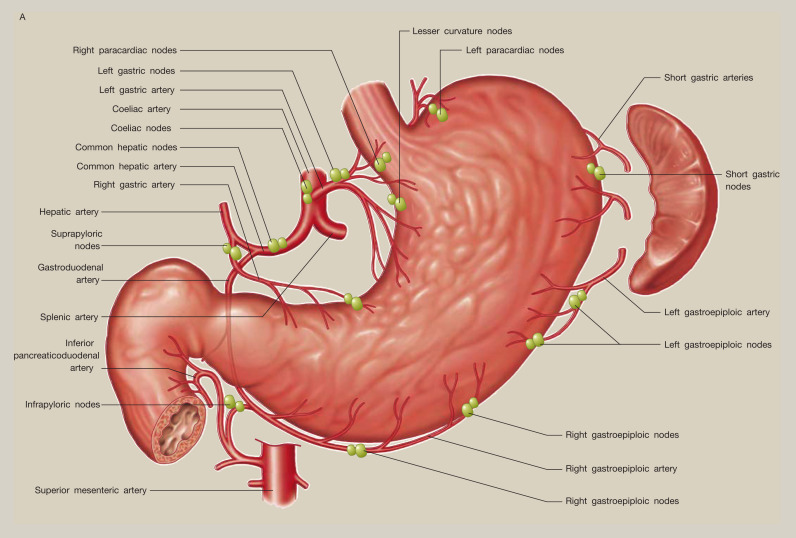 Anatomy of the stomach - ScienceDirect