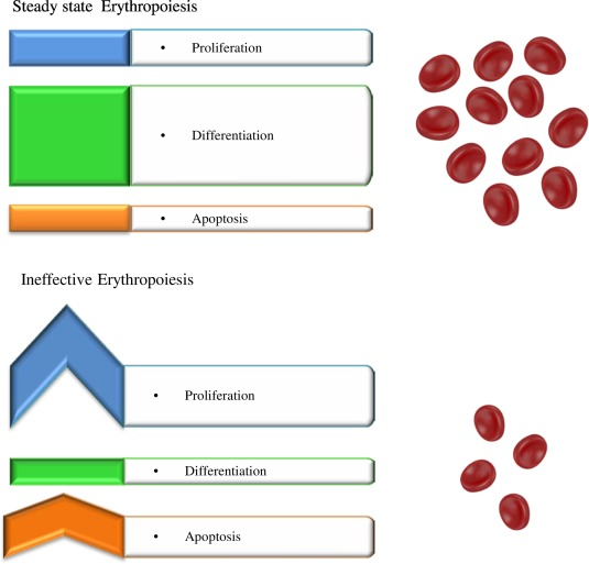What can we learn from ineffective erythropoiesis in thalassemia