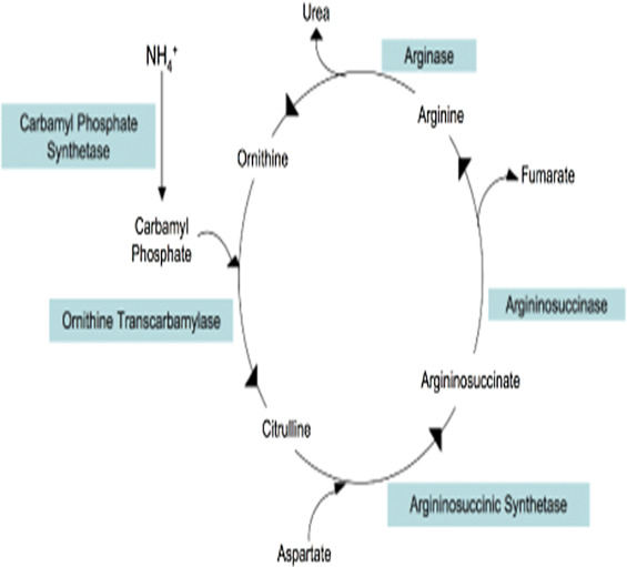 Clinical aspects of urea cycle dysfunction and altered brain energy - urea cycle