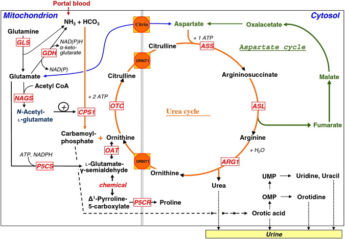 Late-onset urea cycle disorder in adulthood unmasked by severe - urea cycle