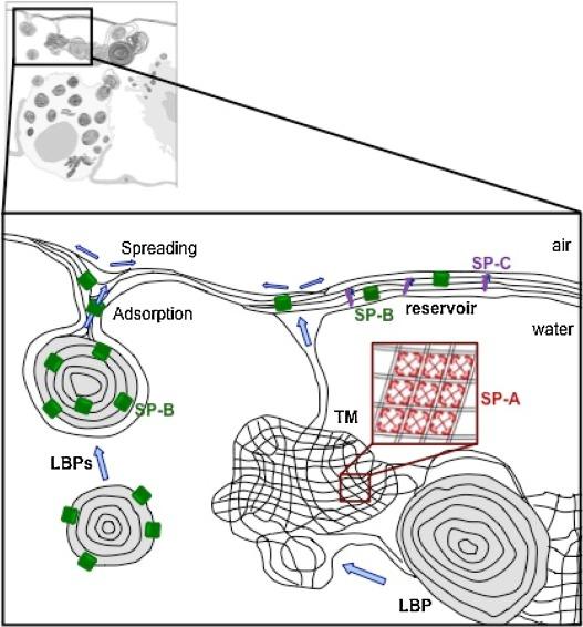 Pulmonary surfactant metabolism in the alveolar airspace Biogenesis