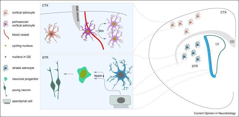 Glial control of neurogenesis - ScienceDirect