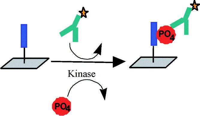 Antibody-Based fluorescence detection of kinase activity on a