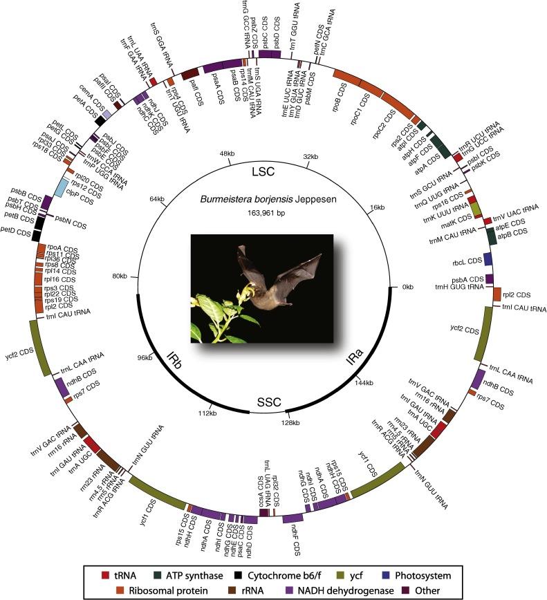 Phylogenetic relationships of Burmeistera (Campanulaceae