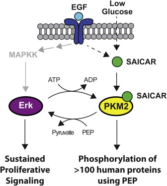 SAICAR Induces Protein Kinase Activity of PKM2 that Is Necessary for