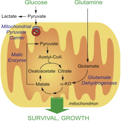 Glutamine Oxidation Maintains the TCA Cycle and Cell Survival during