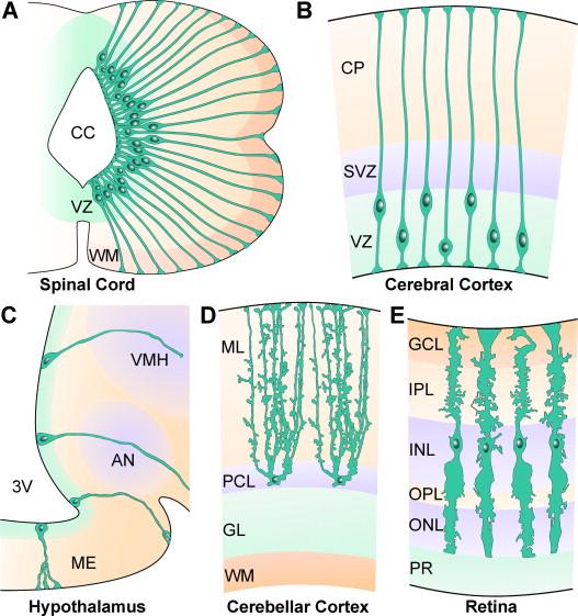 Radial glial cells Key organisers in CNS development - ScienceDirect