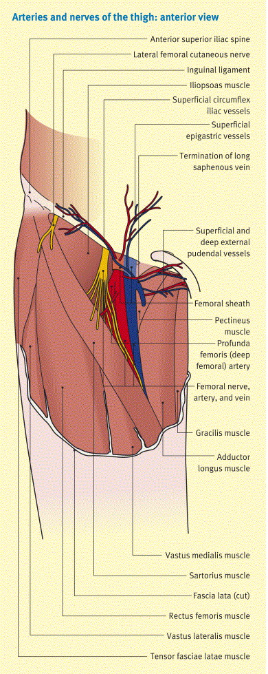 The femoral triangle and superficial veins of the leg - ScienceDirect - femoral triangle
