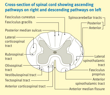Major ascending and descending tracts in the spinal cord - ScienceDirect - spinothalamic tract