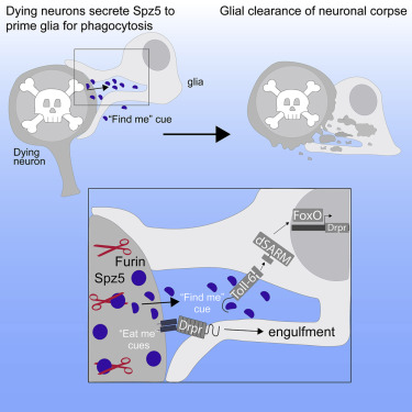 Dying Neurons Utilize Innate Immune Signaling to Prime Glia for