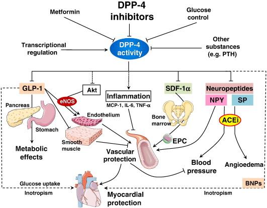 Cardiovascular effects of DPP-4 inhibition Beyond GLP-1 - ScienceDirect