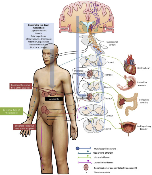 Acupuncture Points and Their Relationship with Multireceptive Fields
