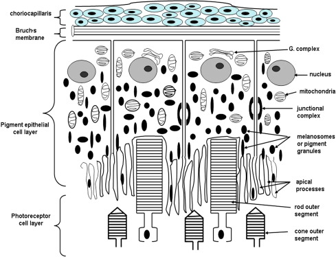 Structure and function of the retinal pigment epithelium