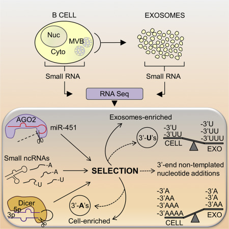 Nontemplated Nucleotide Additions Distinguish the Small RNA