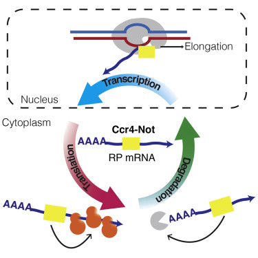 Translational Capacity of a Cell Is Determined during Transcription
