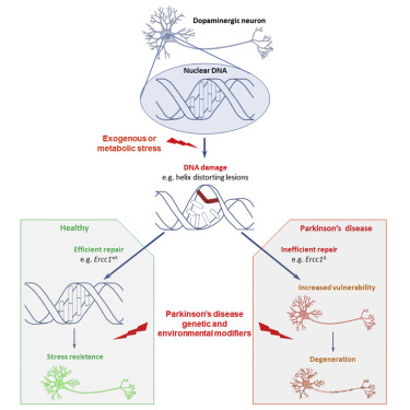 Inefficient DNA Repair Is an Aging-Related Modifier of Parkinson\u0027s