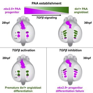 TGF-β Signaling Is Necessary and Sufficient for Pharyngeal Arch