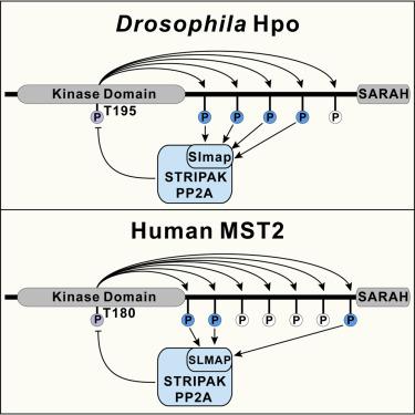 Homeostatic Control of Hpo/MST Kinase Activity through