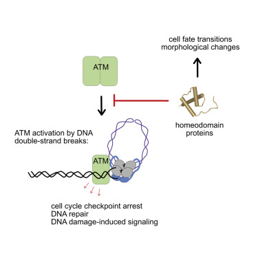 Homeodomain Proteins Directly Regulate ATM Kinase Activity