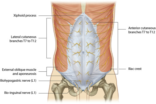 Anatomy of abdominal anterior cutaneous intercostal nerves with