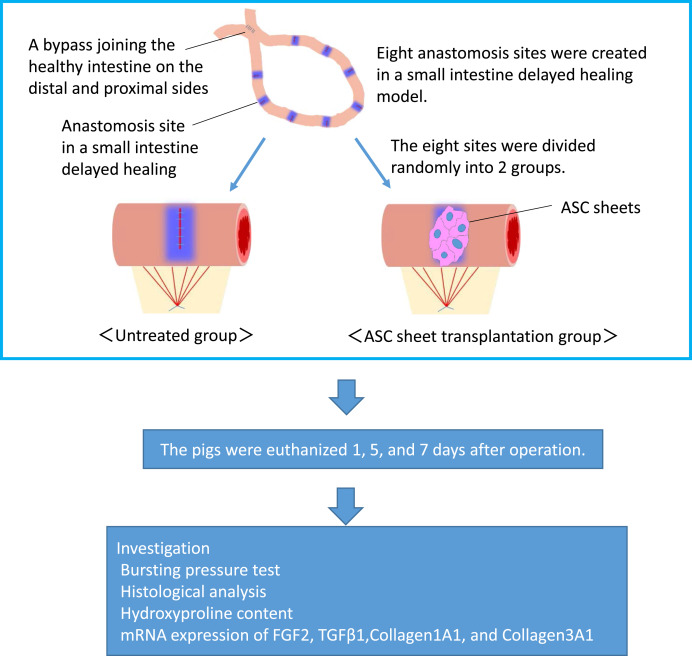 Autologous adipose-derived stem cell sheets enhance the strength of