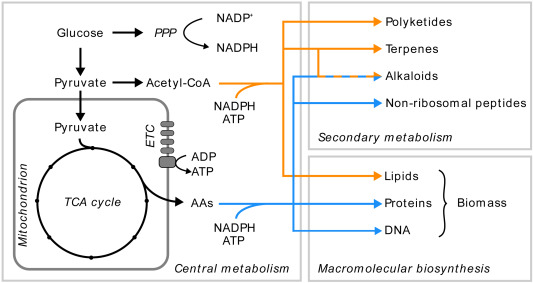 Development of fungal cell factories for the production of secondary