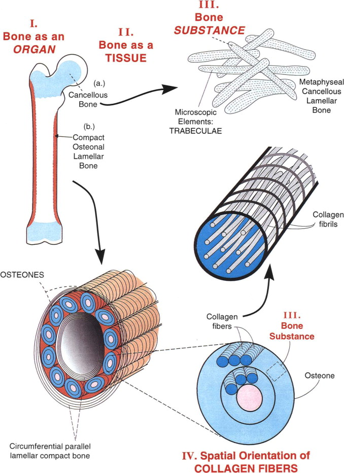 The Nature of the Mineral Phase in Bone Biological and Clinical