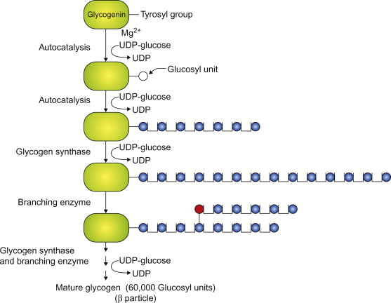 Glycogen Synthesis - an overview ScienceDirect Topics