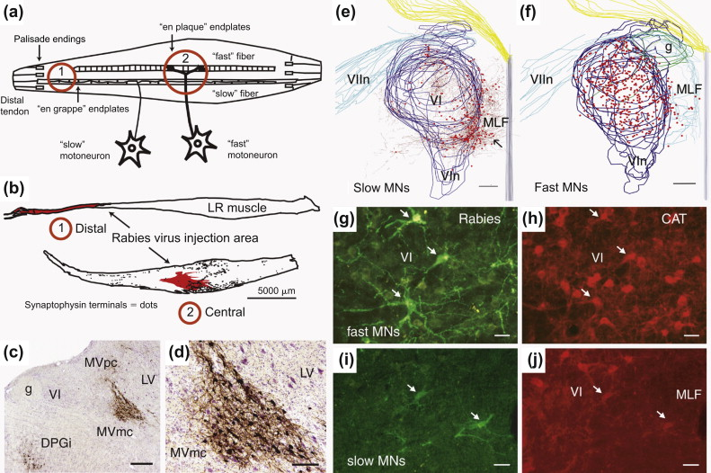 Classic and Contemporary Neural Tract-Tracing Techniques - ScienceDirect