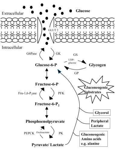 Glycogenesis - An Overview ScienceDirect Topicsglycogen metabolism ط