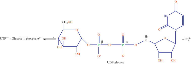 Glycogenesis - an overview ScienceDirect Topics
