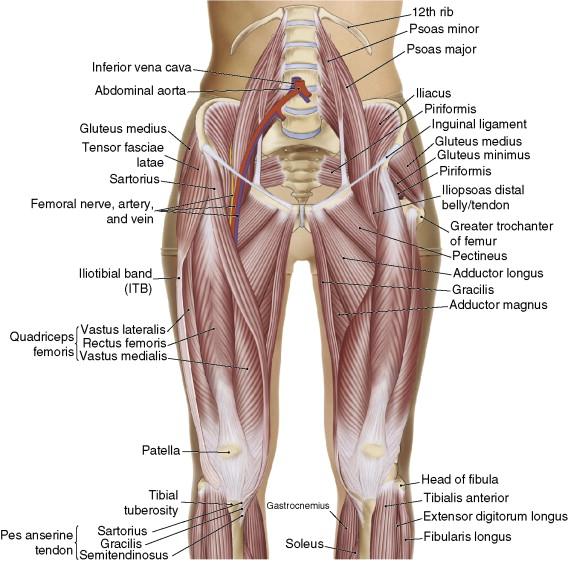Hip Flexor Diagram - Wiring Diagram Schematic