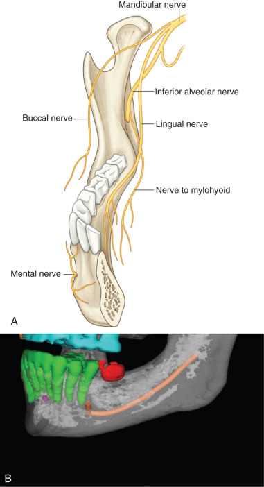 Inferior Alveolar Nerve - an overview ScienceDirect Topics