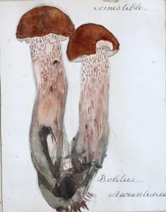 Jean-Claude Fourneau bolet orangé boletus aurantiacus