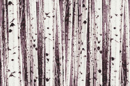 Birch Tree Fall Wallpaper Close Up Grey Birch Trees Tile Pattern Aspen Titanium By Artaic