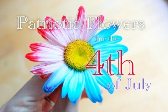 How to Dye Flowers with Two Colors to Make Patriotic FLowers for the 4th of July