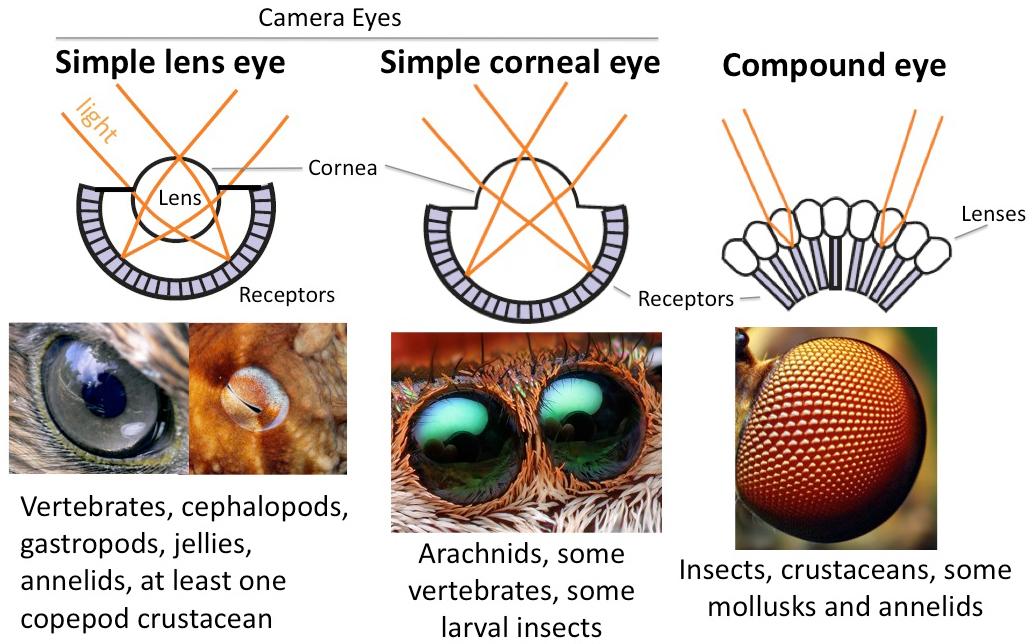 Simple Eyes Arthropoda