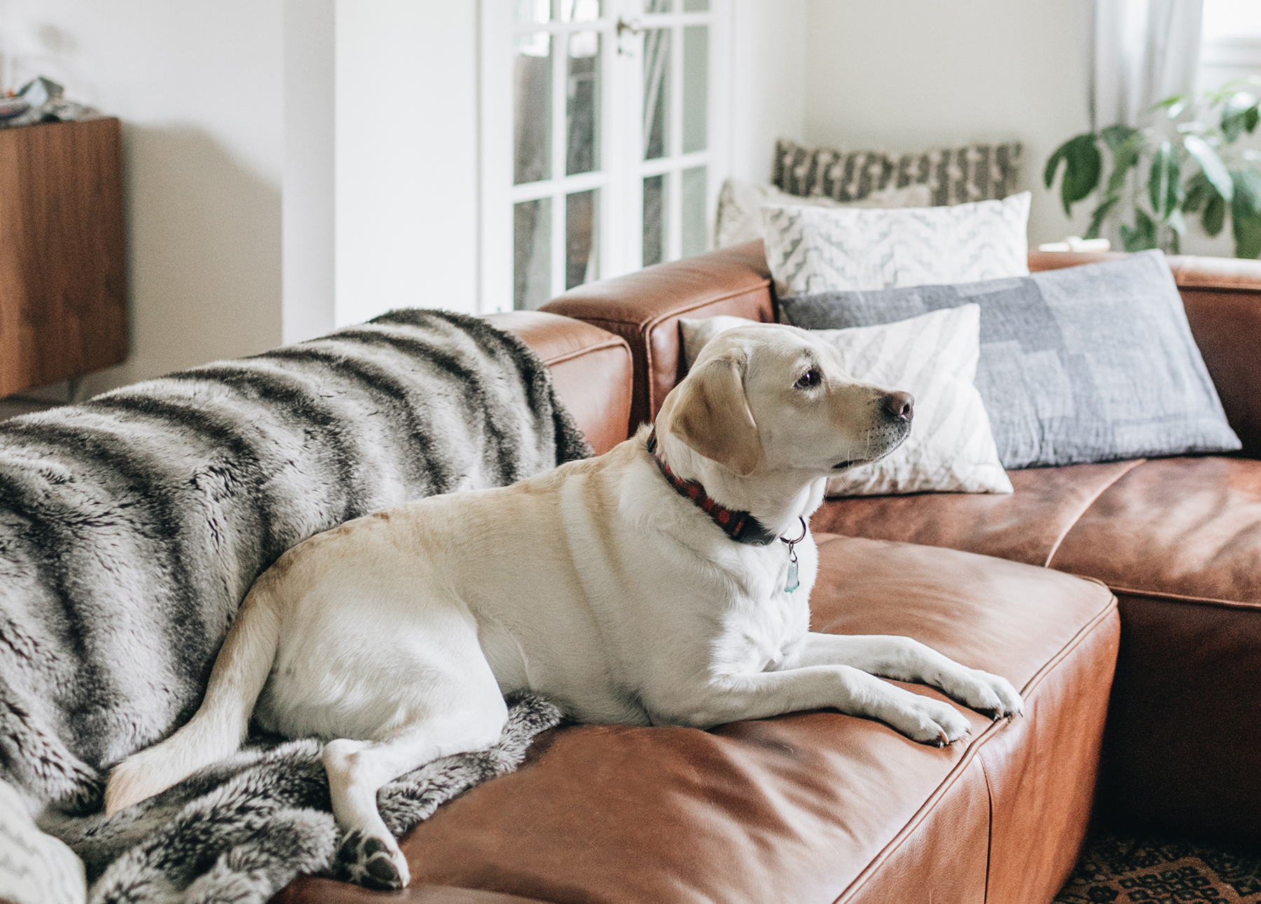 Sofa Leather Repair Toronto Leather Couch With Dogs A Lament And A Cheat Sheet