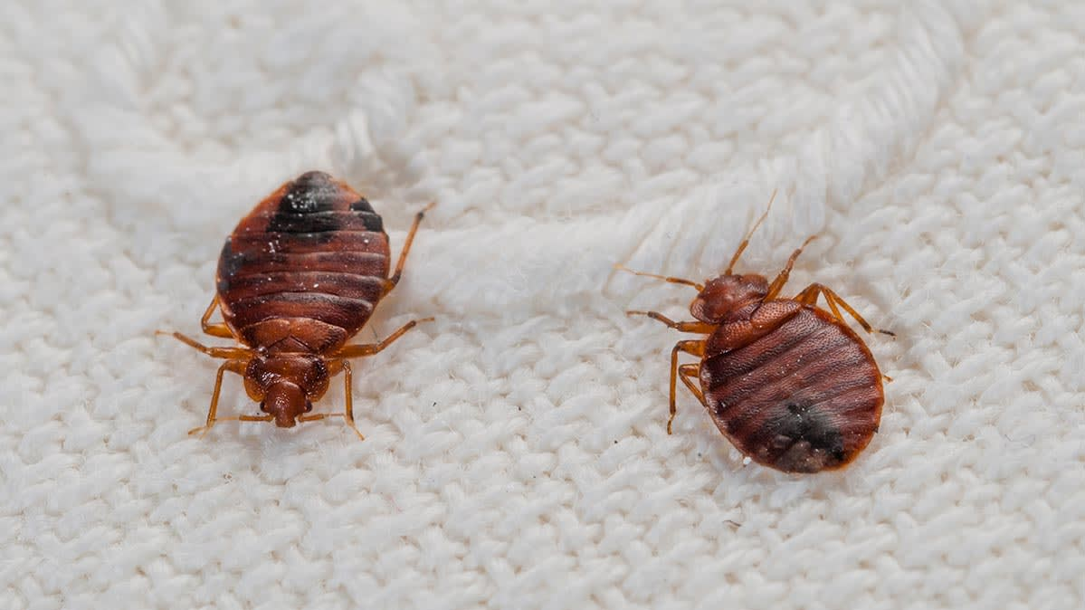 Images Of Bed Bugs 7 Myths About Bed Bugs Debunked Consumer Reports