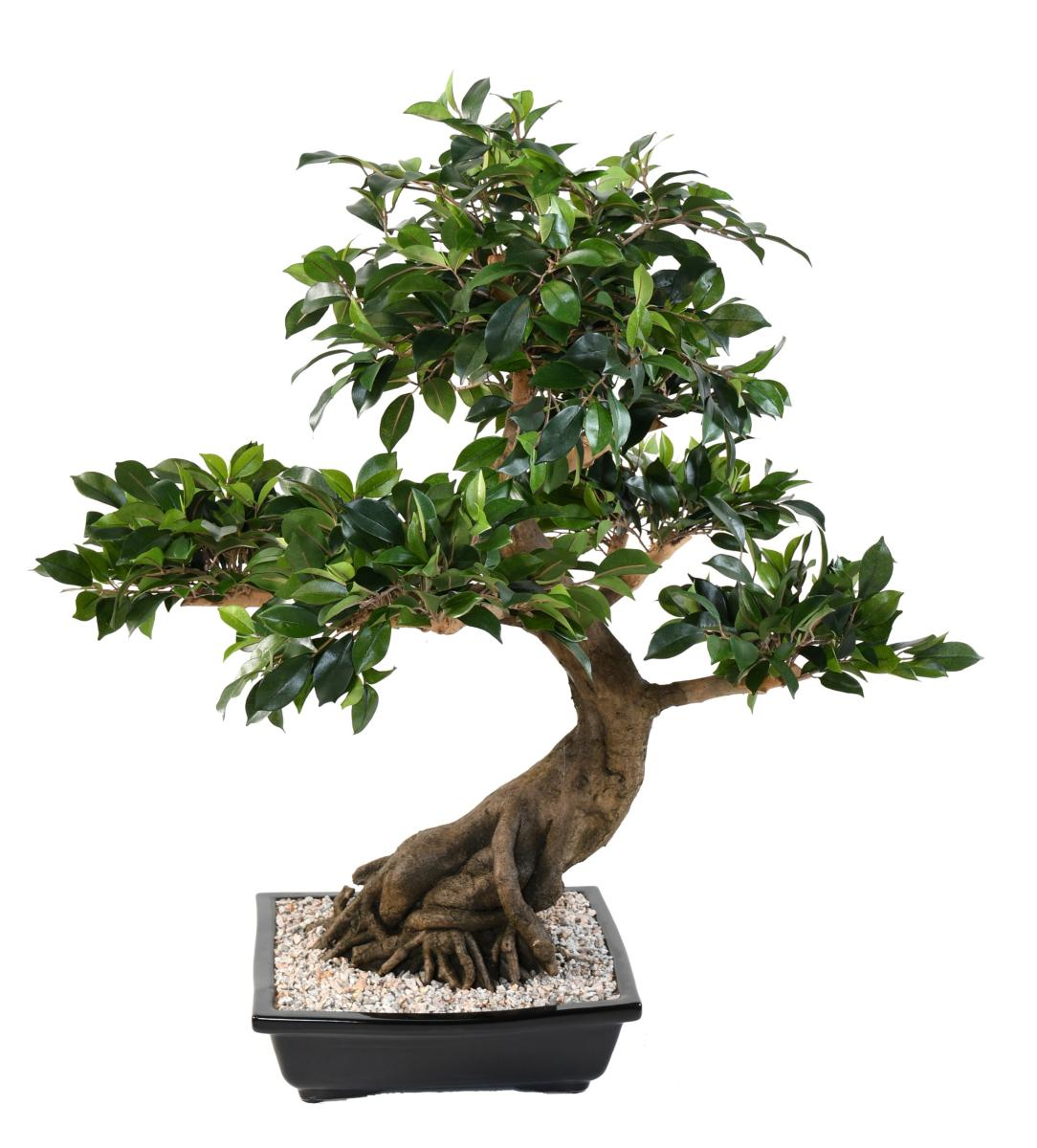 Bonsai D Interieur Especes Bonsai Arbre