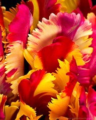 Flamin Parrot - Parrot Tulips Patty Hankins