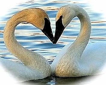 swam-heart
