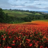 Poppies to create living stage for WWI event: 100: The Day Our World Changed