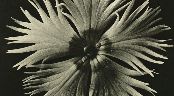 'Unknown universe' explosed in Karl Blossfeldt: Art Forms in Nature at the Thelma Hulbert Gallery