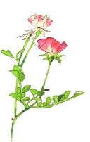 ミニバラ( Miniature rose)
